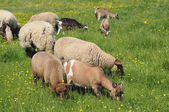 Goats and sheeps eating grass — Stock Photo