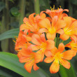Kaffir lily closeup - Stock Photo