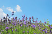 Lavendel blumen im feld — Stockfoto