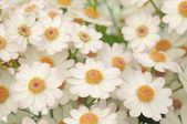 Tiny white dahlias closeup image — Stock Photo
