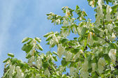 Davidia involucrata or handkerchief tree with flowers — Stock Photo