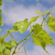 grape leaves — Stock Video