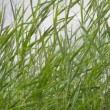 Stock Video: Reeds in windy weather