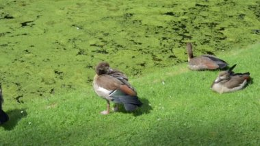 Egyptian geese — Stock Video