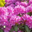 Blossoming rhododendrons — Stock Photo