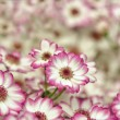 Little pink and white dahlias — Stock Photo #33628899