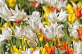 Red, yellow and white tulips — Stock Photo