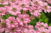 Pink little dahlias — Stockfoto