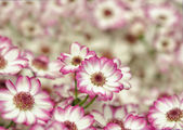 Little pink and white dahlias — Stock Photo