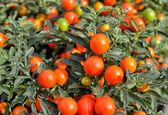 Solanum pseudocapsicum berries — Stock Photo
