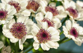 Tiny white dahlias — Stock Photo