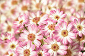 Little pink dahlias — Stock Photo