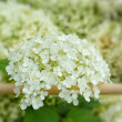White hydrangea flowers — Stock Photo