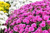 Tiny pink dahlias — Stock Photo