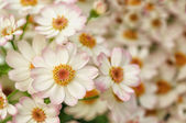 Little white and pink dahlias — Stock Photo