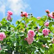 Pink roses and the blue sky — Stock Photo #48135557