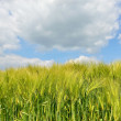 Field with young wheat in bright summer day — Stock Photo