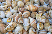 Edible sea snails — Stock Photo
