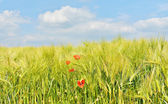 Field with young wheat — Stock Photo