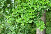 Branch of ginkgo tree — Stock Photo