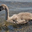 The Ugly Duckling — Stock Photo