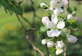 Blossoming of appletree. Several flowers of blooming apple — ストック写真