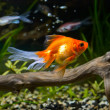 Goldfish in aquarium — Stock Photo
