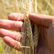 Ears of Wheat in hand — Stok fotoğraf