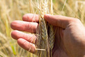 Ears of Wheat in hand — Stock Photo
