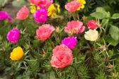 Barevné letní květiny v zahradě — Stock fotografie