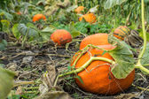 Orange ripe pumpkin in the garden — Stock Photo