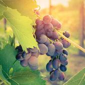 Ripe Grape on vine in sunrise light — Stock Photo