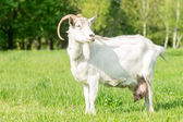 White goat grazing grass at the meadow — Stock Photo
