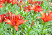 Field of red lilies. Close up image of lily. Flower background — Zdjęcie stockowe