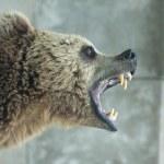 Angry Bear — Stock Photo