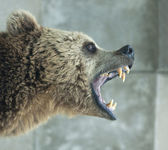 Angry Bear — Stock Photo