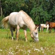 White horse pastures in field — Stock Photo #13866304