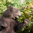 Stock Photo: Grizzly bear