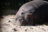 Sleeping hippo — Stock Photo
