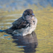 Bathing sparrow — Stock Photo