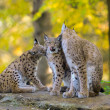 Lynx family - Stock Photo