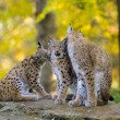 Stock Photo: Lynx family