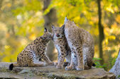 Lynx family — Stock Photo