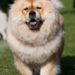 Chow chow — Stock Photo #13971172