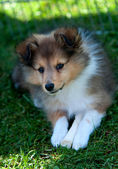 Border-collie — Stockfoto