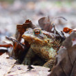 Meadows frog — Stock Photo