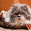 Stock Photo: Persian cat