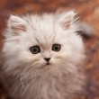 Cute little Persian kitten — Stock Photo #19193979