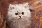 Cute little Persian kitten — Stock Photo