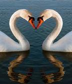 Swans heart — Stock Photo